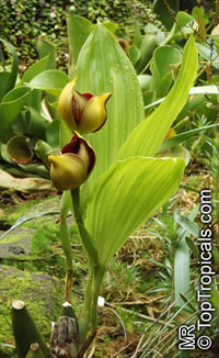 Anguloa sp., Tulip Orchid