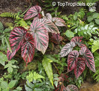 Begonia brevirimosa, Exotica Begonia   Click to see full-size image