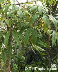 Bombax costatum, Bombax andrieui , Red-Flowered Silk Cotton Tree  Click to see full-size image