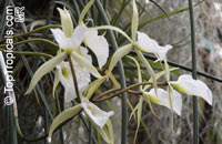 Brassavola sp., Lady of the Night  Click to see full-size image