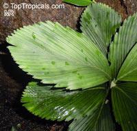 Chamaedorea tuerckheimii, Potato Chip Palm, Ruffles Palm  Click to see full-size image