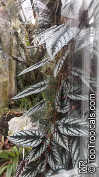 Cissus discolor, Vitis discolor, Rex Begonia Vine, Painted Cissus   Click to see full-size image