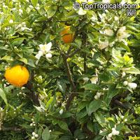 Citrus x aurantium, Bitter Orange, Seville Orange, Sour Orange, Bigarade Orange  Click to see full-size image