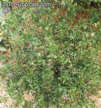 Citrus australis, Australian Lime