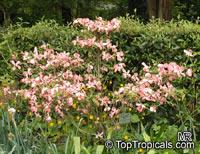 Cornus florida, Flowering Dogwood  Click to see full-size image