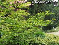 Cornus sp., DogwoodClick to see full-size image