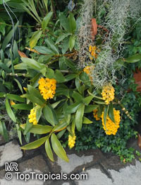 Dendrobium densiflorum, Pineapple Orchid  Click to see full-size image