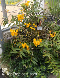 Dendrobium fimbriatum, Fringed-lipped DendrobiumClick to see full-size image