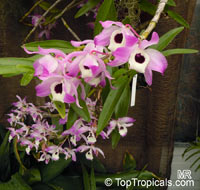 Dendrobium nobile, Dendrobium Nobile Orchid