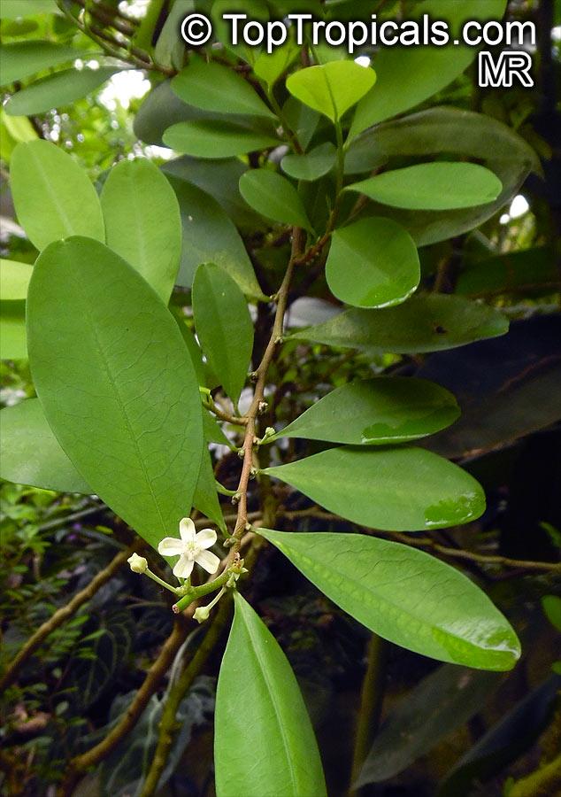 Erythroxylum Coca Huanuco Coca Toptropicals Com