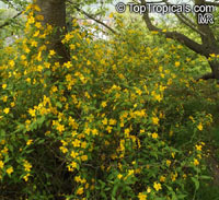 Kerria japonica Pleniflora, Double Kerria, Wild Rose, Japanese Rose  Click to see full-size image