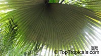 Kerriodoxa elegans, White Elephant Palm, King Thai Palm  Click to see full-size image