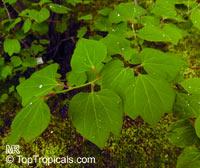 Lindera obtusiloba, Japanese Spicebush  Click to see full-size image