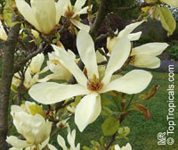 Magnolia acuminata, Cucumber Tree, Cucumber Magnolia  Click to see full-size image