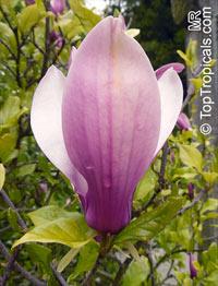 Magnolia liliiflora, Mulan Magnolia, Purple Magnolia, Red Magnolia, Lily Magnolia, Tulip Magnolia, Jane Magnolia  Click to see full-size image