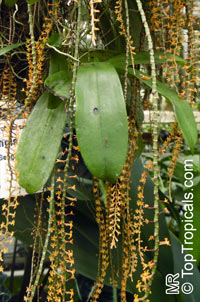 Aerangis hariotiana, Microterangis hariotiana, Chamaeangis hariotiana, Hariot's MicroterangisClick to see full-size image