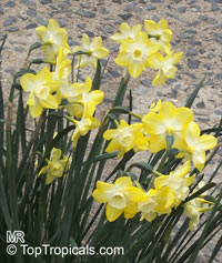 Narcissus sp., Daffodil  Click to see full-size image