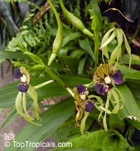 Prosthechea cochleata, Encyclia cochleata, Cockle OrchidClick to see full-size image