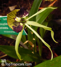 Prosthechea cochleata, Encyclia cochleata, Cockle Orchid  Click to see full-size image