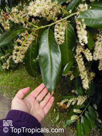 Prunus laurocerasus, Cherry Laurel  Click to see full-size image