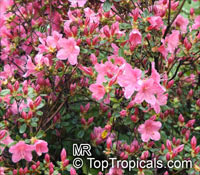Rhododendron sp., Azalea sp., Rhododendron  Click to see full-size image