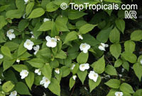 Rhodotypos scandens, Black Jetbead  Click to see full-size image