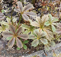 Rodgersia podophylla, Astilbe podophylla, Rodger's bronze-leaf  Click to see full-size image