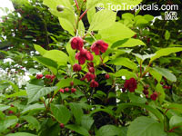 Schisandra sp., Magnolia Vine  Click to see full-size image