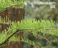 Taxodium sp., Bald Cypress