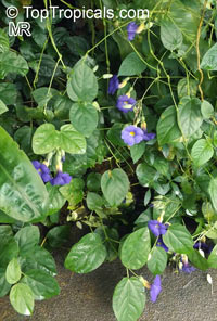 Thunbergia battiscombei, Bengal Clock Vine, Blue Trumpet Vine, Blue Sky vine, Scrambling sky flower, Blue Glory