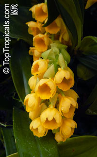 Dendrobium densiflorum, Pineapple OrchidClick to see full-size image
