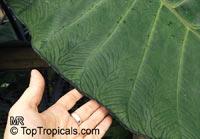 Xanthosoma sagittifolium, Xanthosoma violaceum, Xanthosoma atrovirens, Arum nigrum, Xanthosoma nigrum, Tannia, Malanga Blanca, Yautia, Cocoyam, Eddo, Coco, Sato-imo, Japanese Potatoes  Click to see full-size image