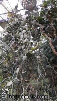 Xerosicyos danguyi, Silver Dollar PlantClick to see full-size image