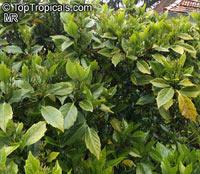 Aucuba japonica, Japanese Aucuba, Japanese Laurel  Click to see full-size image
