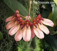 Bulbophyllum sp., Bulbophyllum  Click to see full-size image