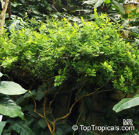 Erythroxylum coca, Huanuco, Coca  Click to see full-size image
