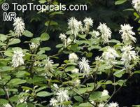 Fothergilla gardenii, Dwarf Fothergilla, Coastal Fothergilla  Click to see full-size image