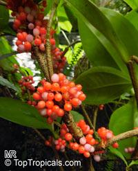 Medinilla succulenta, Medinilla crassifolia, Melastoma succulentum, Succulent-leaved Medinilla  Click to see full-size image