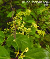 Orixa japonica, Japanese Orixa  Click to see full-size image