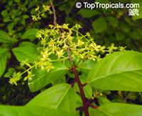 Orixa japonica, Japanese OrixaClick to see full-size image
