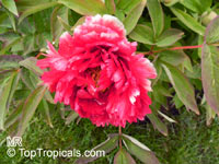 Paeonia suffruticosa, Tree Peony  Click to see full-size image