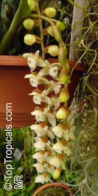 Pholidota chinensis, Coelogyne chinensis, The Chinese Pholidota  Click to see full-size image
