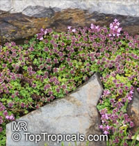 Thymus praecox, Creeping Thyme  Click to see full-size image
