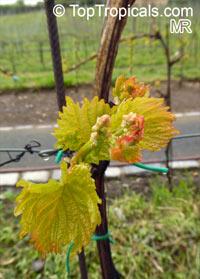 Vitis vinifera, Wine GrapeClick to see full-size image