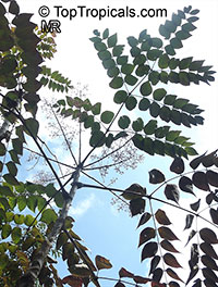 Aralia elata, Japanese Angelica Tree  Click to see full-size image