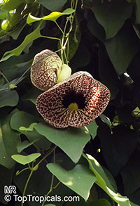 Aristolochia sp., Aristolochia  Click to see full-size image