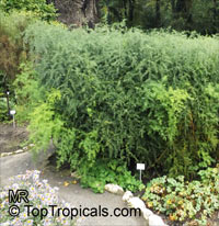 Asparagus officinalis, Garden Asparagus  Click to see full-size image