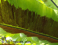 Asplenium nidus, Asplenium nidus-avis, Bird's Nest Fern  Click to see full-size image
