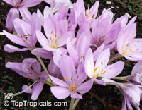 Colchicum sp., Autumn Crocus  Click to see full-size image