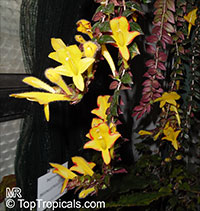 Columnea x banksii 'Carnival', Goldfish Plant  Click to see full-size image